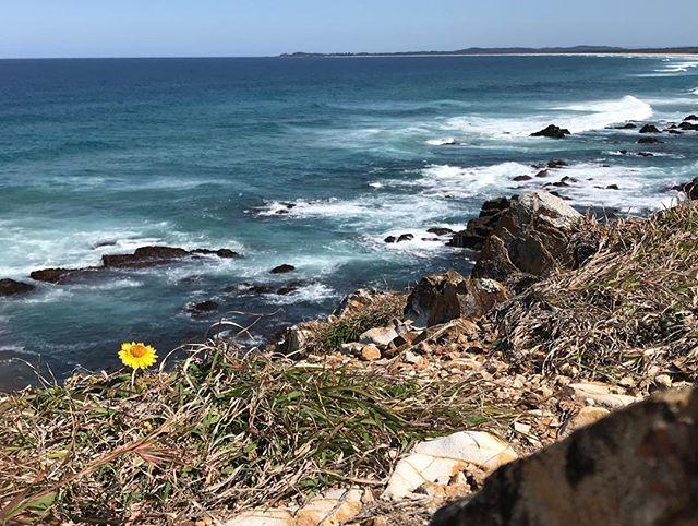 Paradise ⛺️🌴☀️🌼🐳🐬🌈🌊 . . #australianbeaches #australiancoastline #pristinebeaches #easterncoastline #northernnsw #beautifulplacesofaustralia #coastline #landscapes #headlands #nationalparks #coastalwalks #beachholidays #campingholidays #wildflowers #nofilter #iphoneography #ruggedcoastlines