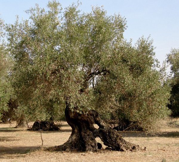 albero-ulivo.jpg