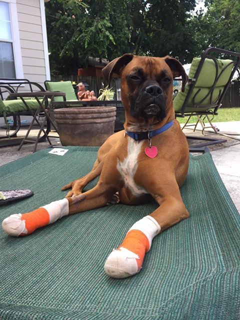 Prince, my male boxer, was attacked by two pit bulls while inside my gate. One pulled Prince's front paw through the gate and was trying to rip it off. In my efforts to free Prince, I got bit deeply while Ava was running frantically in circles. It happened so fast. Dogs were screaming. Lots of blood. We're all at the ER. Traumatic. The pits belong to someone in the neighborhood. I'll be filing a police report.Not how I wanted to start my day. But it could have been worse. JOY LESSON: Just because you're living more joyfully doesn't mean there won't be bad days. Joy just makes it easier to deal.