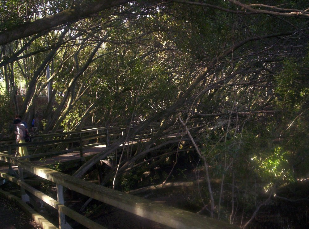 Mangrove Forest, Brisbane