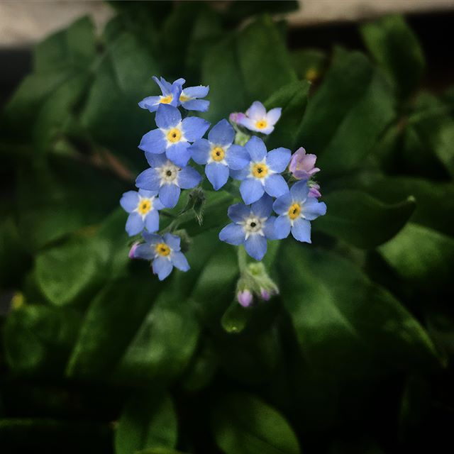 I planted these #forgetmeknots by seed in April, and they finally bloomed for me! I didn't realize how tiny they are! #socute #mondayblues . . . . . #flowers #flowerstagram #flower #floral #blooms #blueflowers #blueflowers #bontanical #august #bluecolor #latesummer