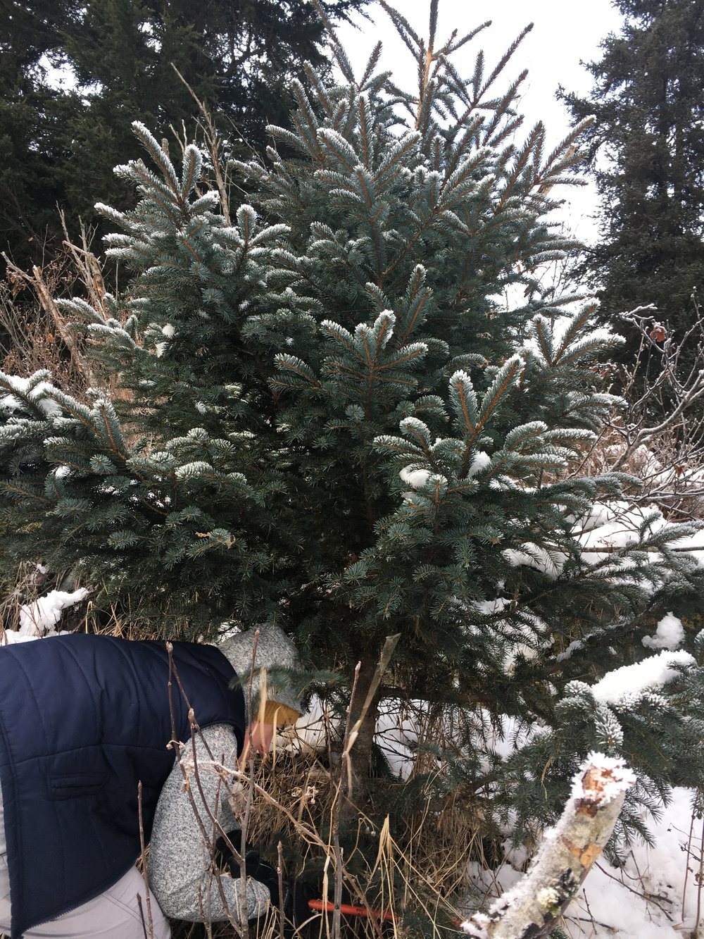 Cutting down our Christmas tree!!