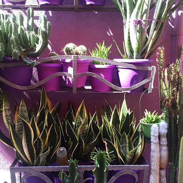 💜🌵✌🏽️#mrandmrsamazingmoon #fbf #cactus