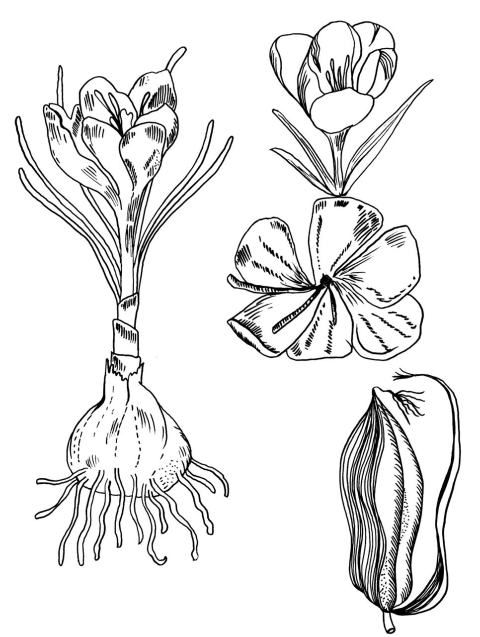 Garlic and saffron flower