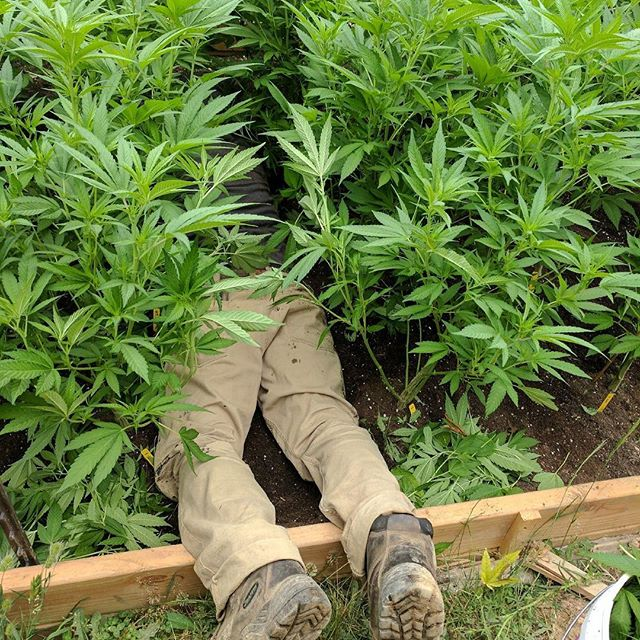 Sometimes you have to get fully in the garden to do plant care. 🌱🌱#lightdep #plantcare #bottombranching #dedicated #canopy #seaofgreen #spireridgefarms #fiskars #raisedbeds #sustainablecannabis #weedstagram420 #cannabiscommunity #sungrown #prop215