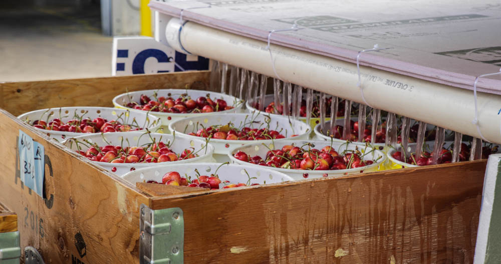 Auvil Fruit Cherry Sorting-2.jpg