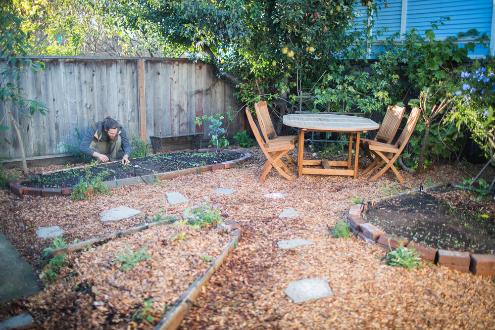 Checking on the veggie starts. We planted vegetables from seed so the family could experience the full cycle of growing their own food. The process involved clearing the landscape, sheet mulching, building garden beds, setting up irrigation and planting. Beds were created from materials found on-site. The perimeter is lined with drought-tolerant native plants and culinary herbs. (Berkeley, CA / November 2017)