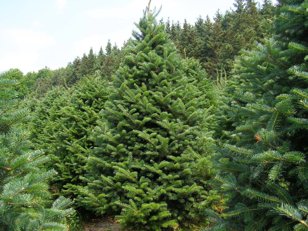 tree3jpg - Cheap Real Christmas Trees For Sale