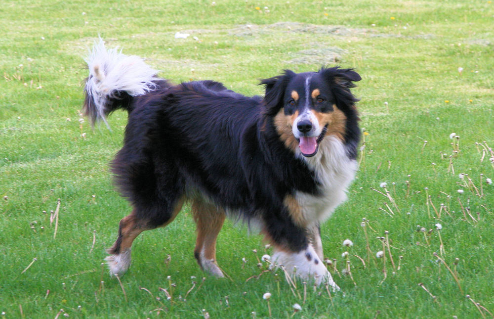 Max, Master Goose Control Dog