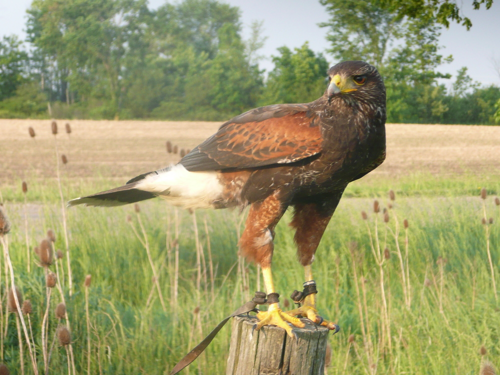 Zeus, Highly Trained Harris Hawk