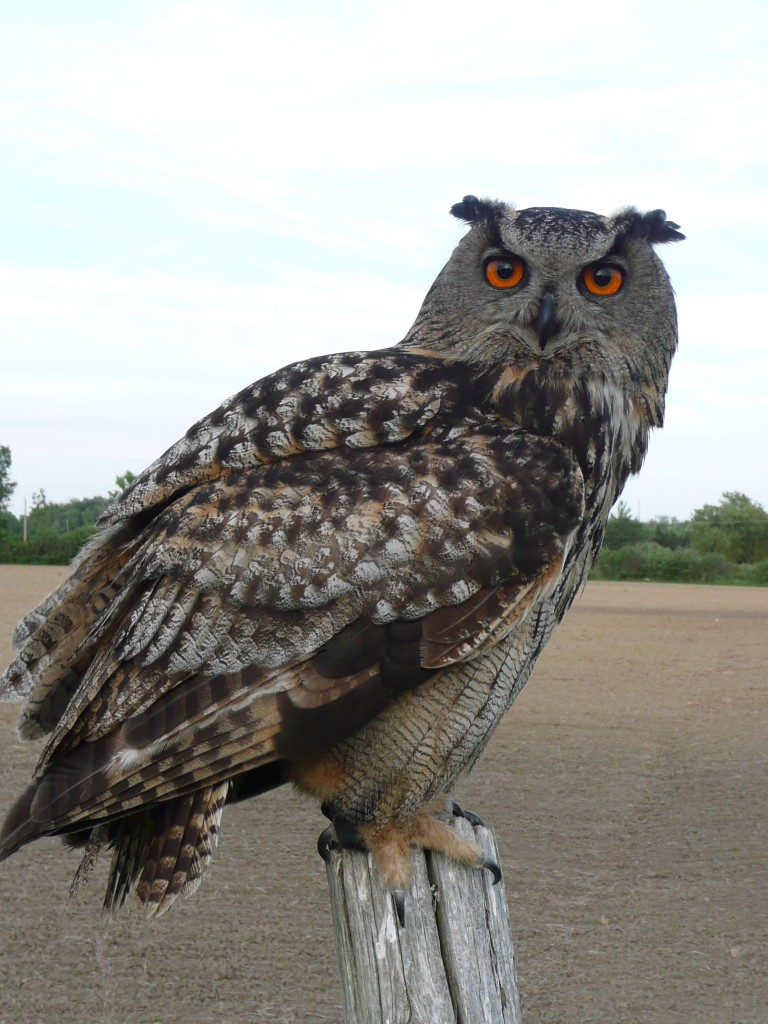 Oscar, Highly Trained Eagle Owl