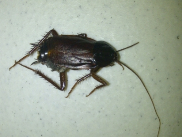 Cockroach-Complete Pest.jpg
