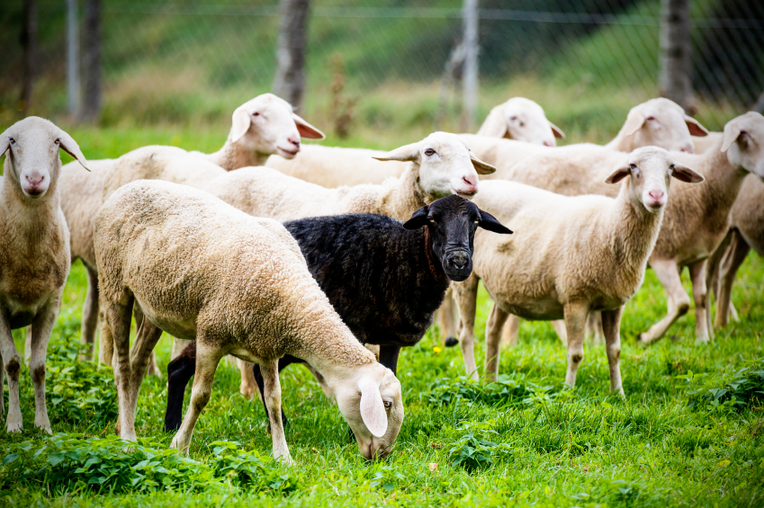 Black-sheep-standing-out-of-the-crowd-000023843454_Small.jpg