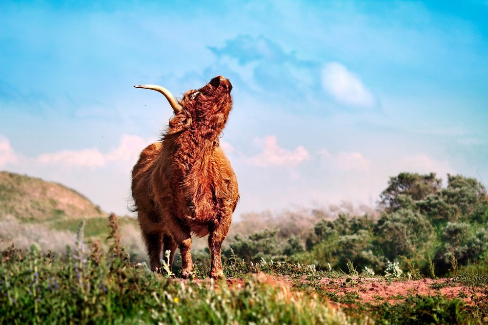 wild looking cow.jpg