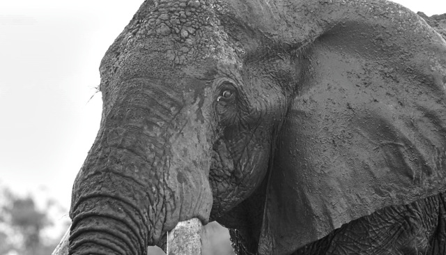 note:  Satao  is a great tusker murdered May 30, 2014. Photo of Satao ©  Mark Deeble & Victoria Stone .