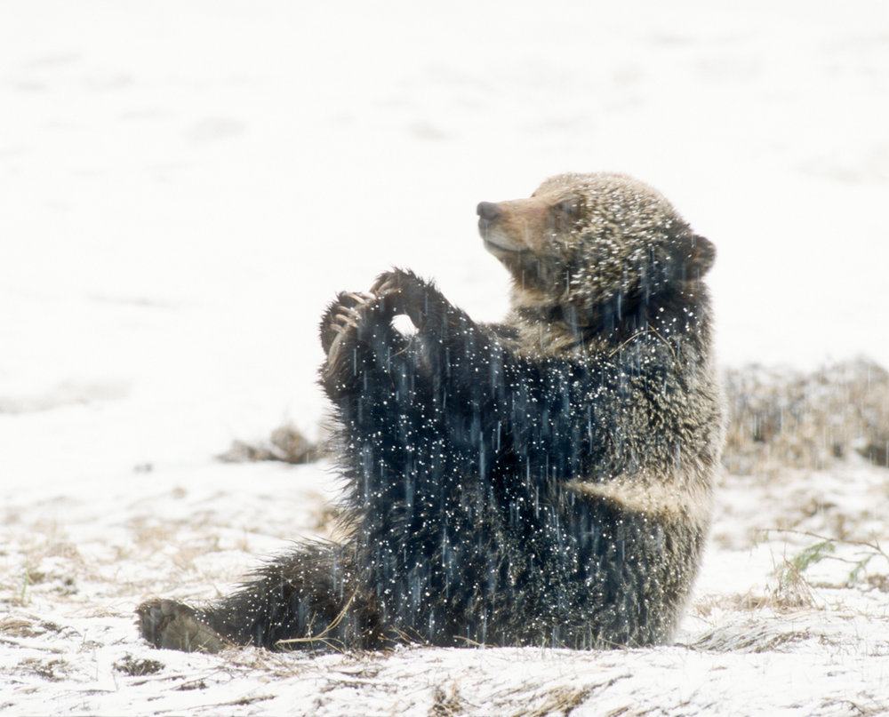 Grizzly playing with her toes - Photo Copyright Tom Murphy / tmurphywild.com