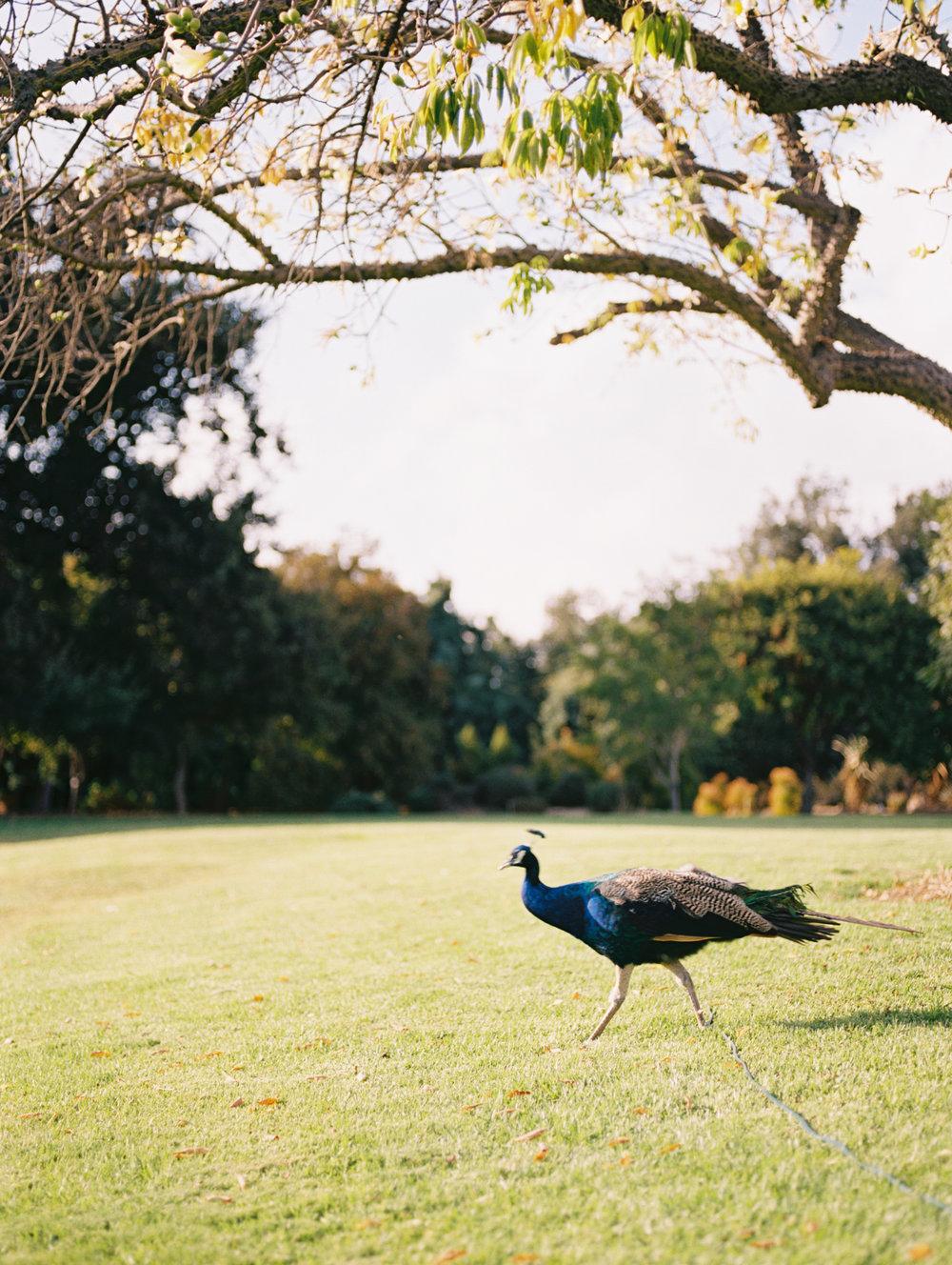 los-angeles-county-arboretum-and-botanic-garden-wedding-photos-photography309.jpg