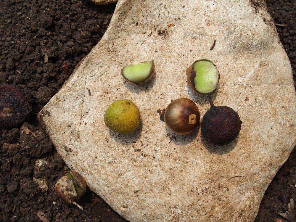 The Guatemalan ramón nut.