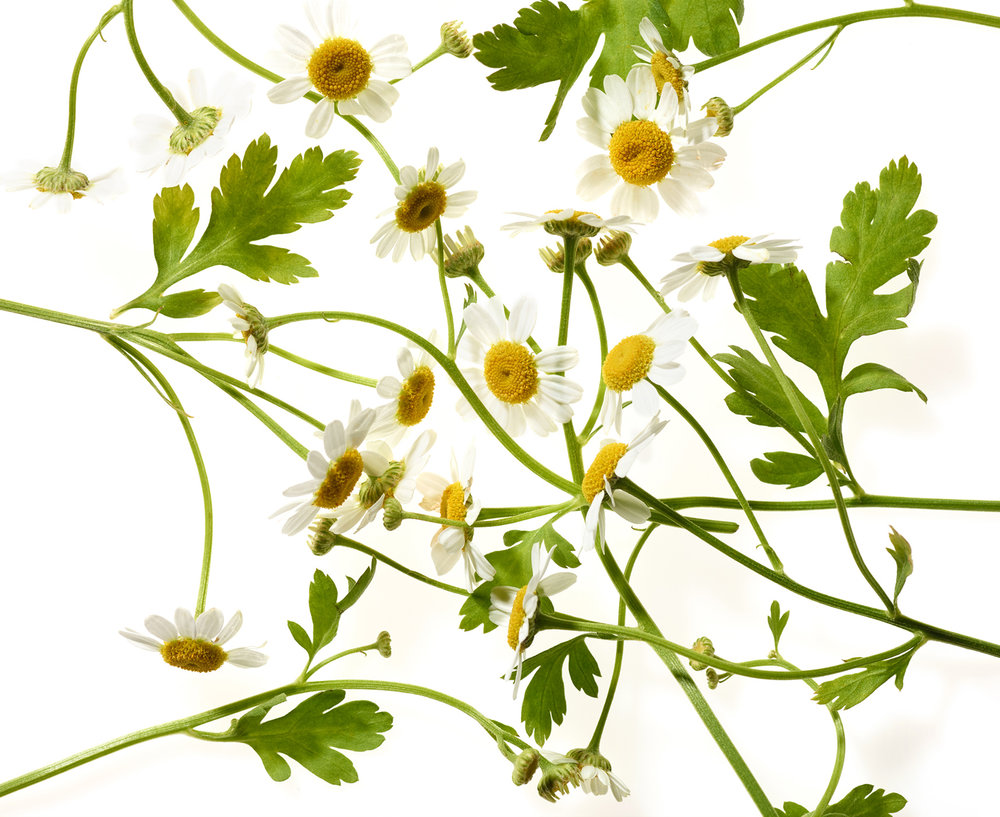 chamomile_0008_edit.jpg