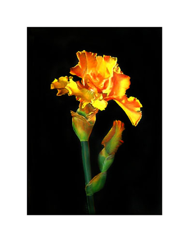 Yellow-Iris-SS-web-B.jpg