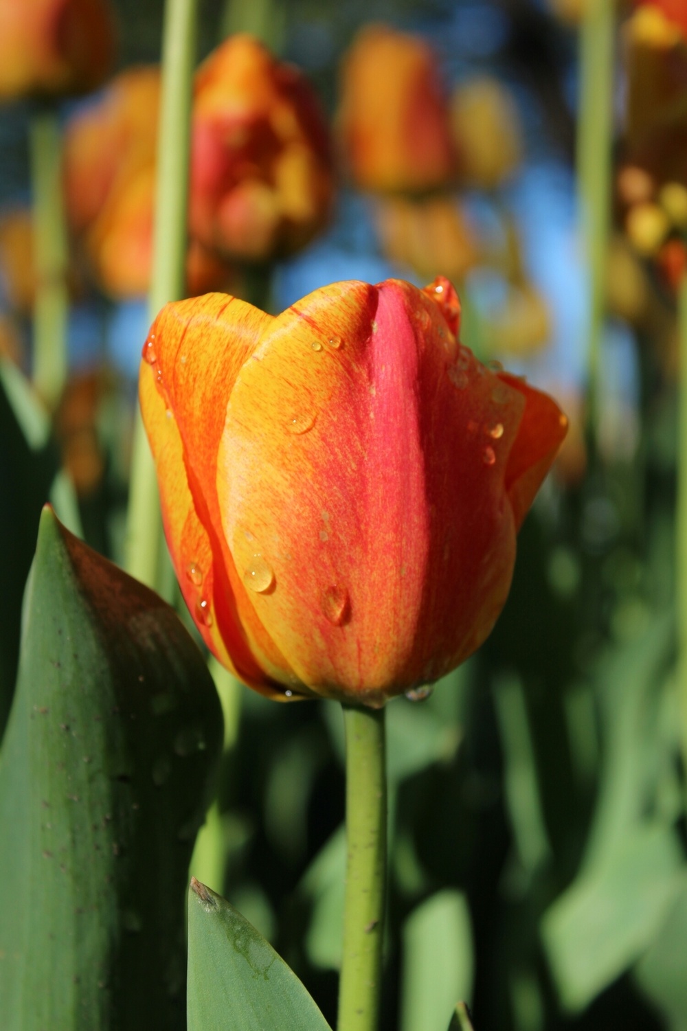 There were tulips in Holland