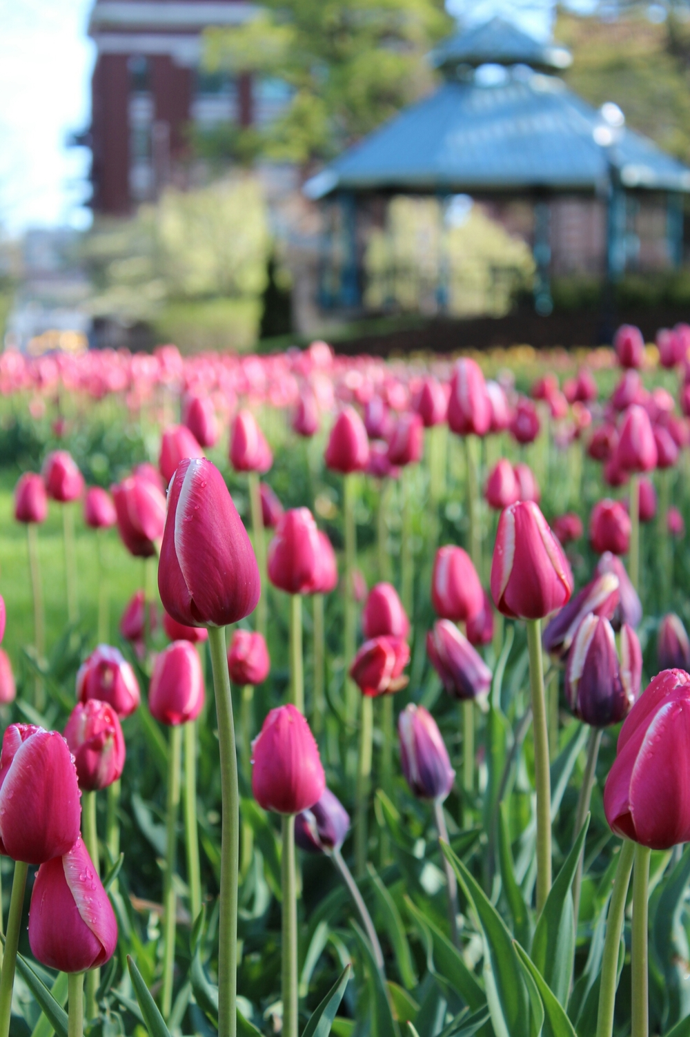 *There were lots  of tulips in Holland