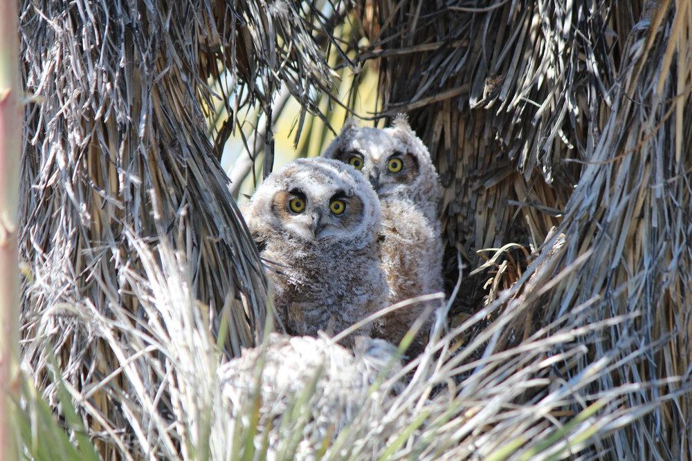 Owls in Sonora Desert