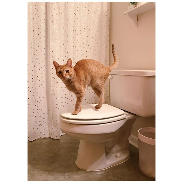 He's a cat... flushing a toilet. #parrygripp #rexiewaffle