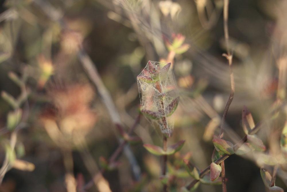 Karoo veld plant