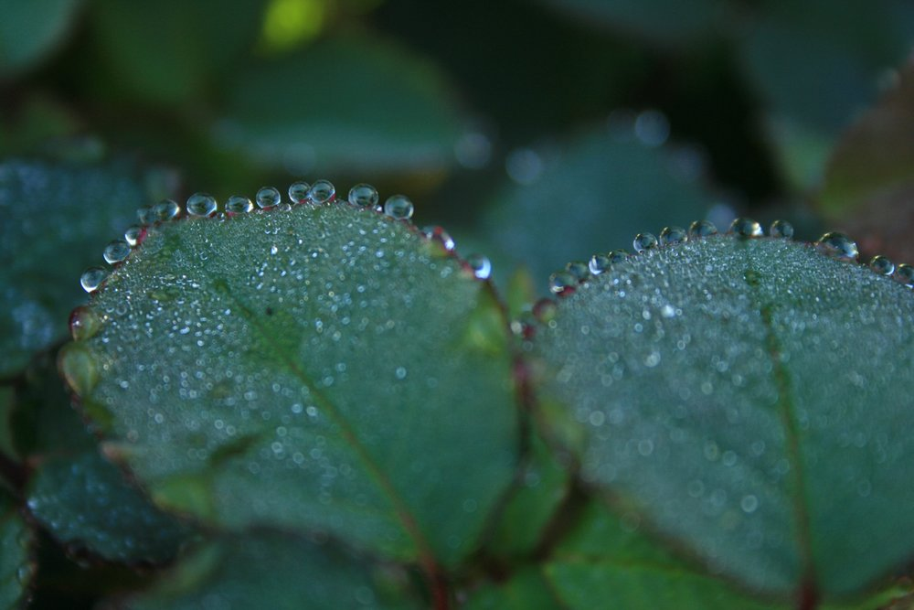 Rose leaves with dew drops