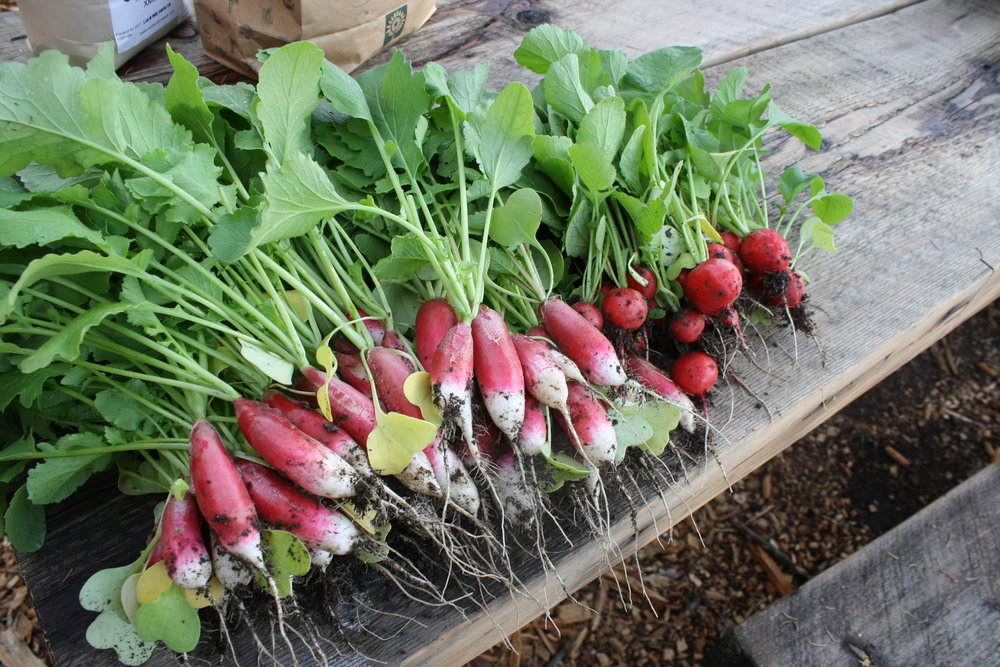 Radish season! Thanks Rebecca for helping harvest!