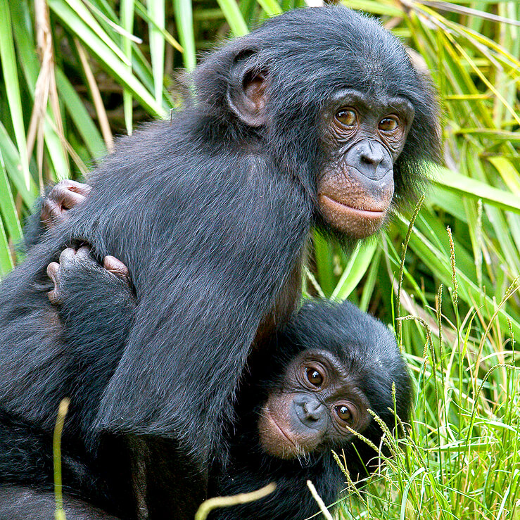 bonobo_kids.jpeg