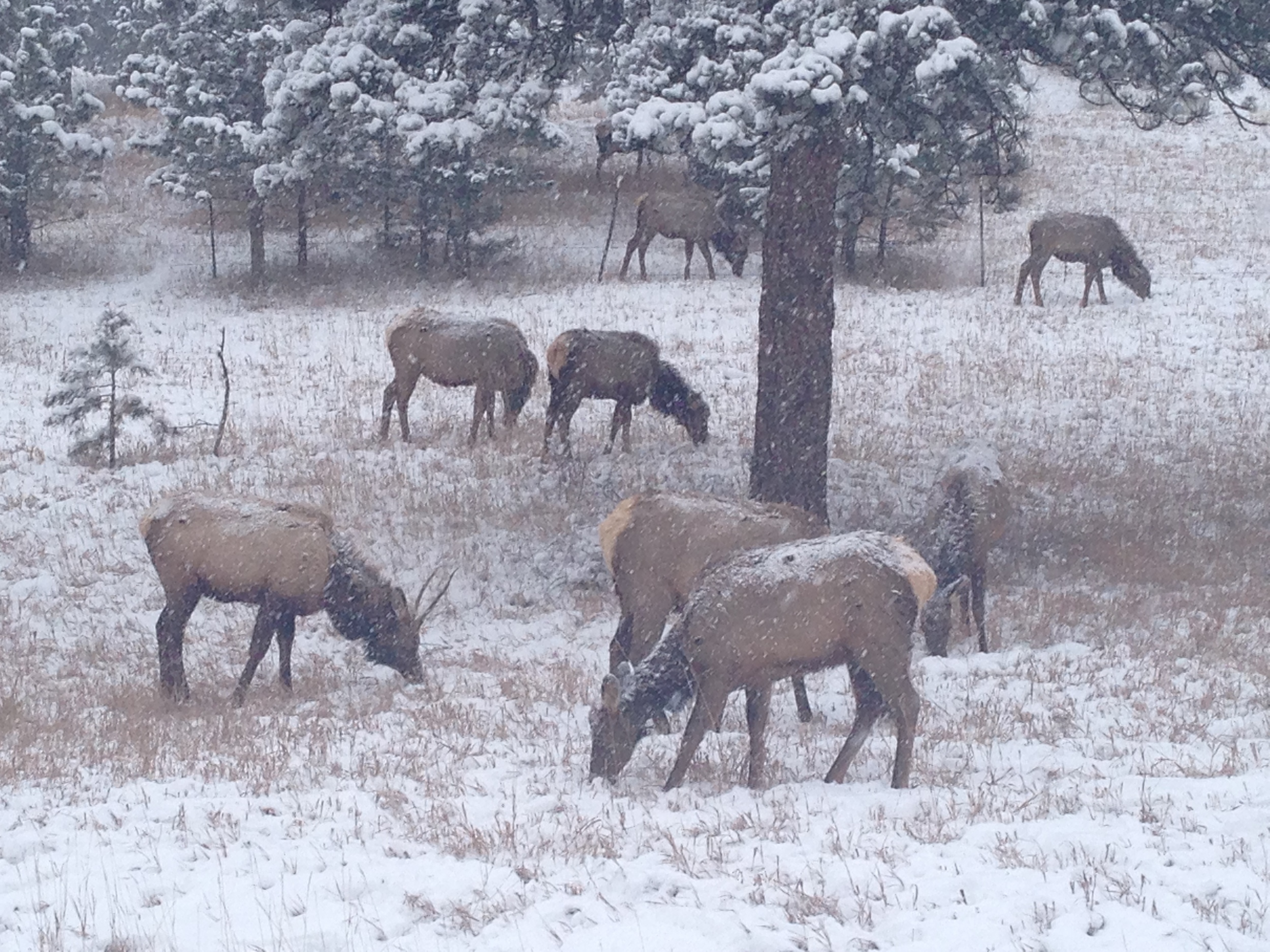 Elk in Winter