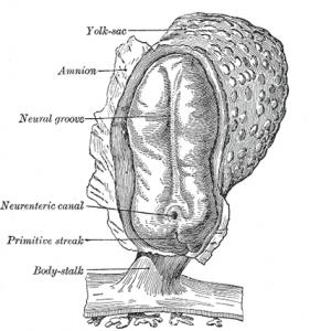 embryonic midline
