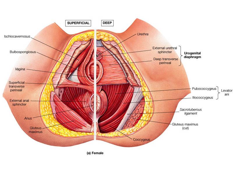 perineal-muscles.jpg