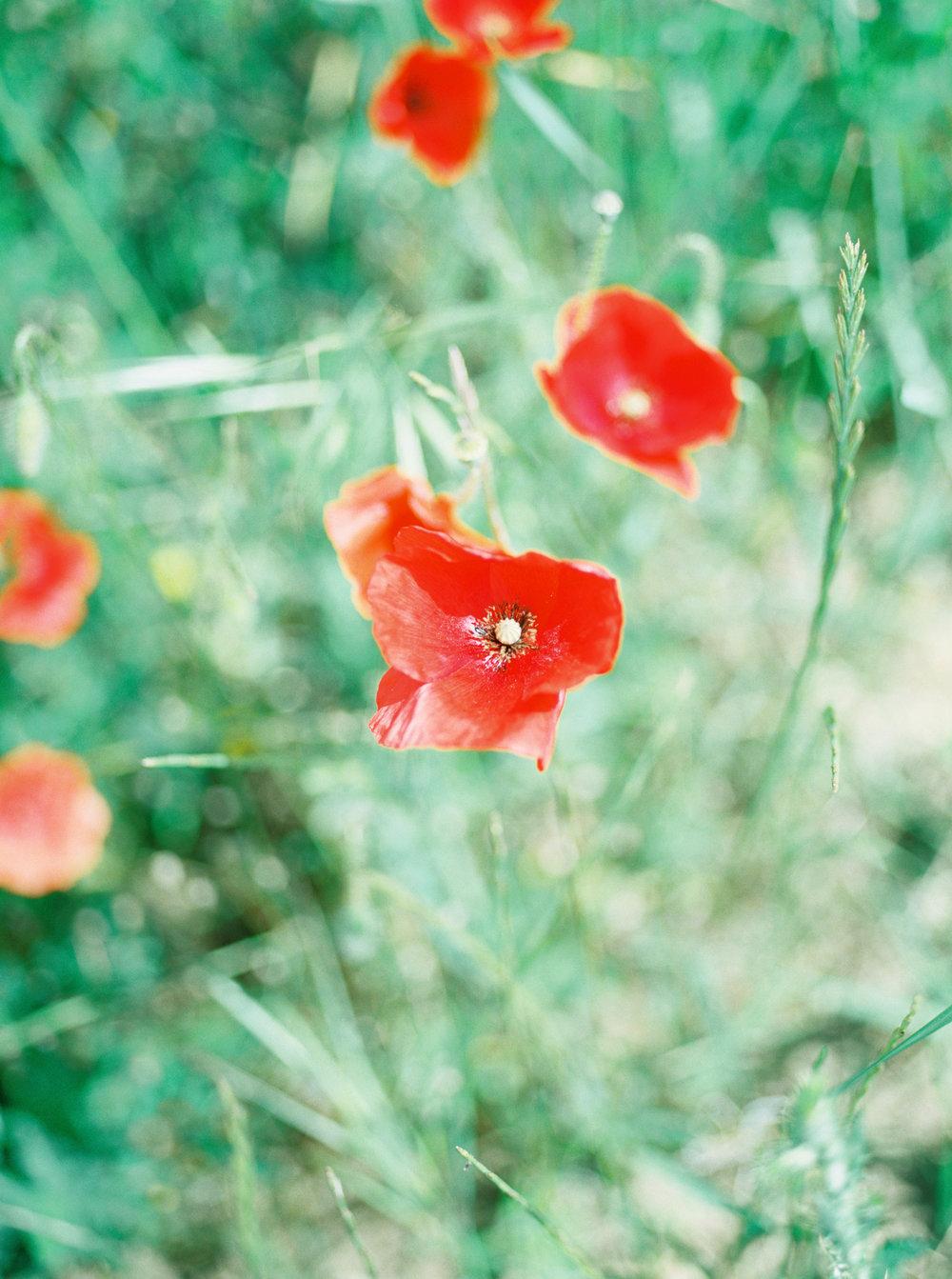 Poppy fields in France.
