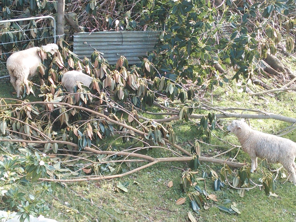 3 Sheep cleaning up after a storm