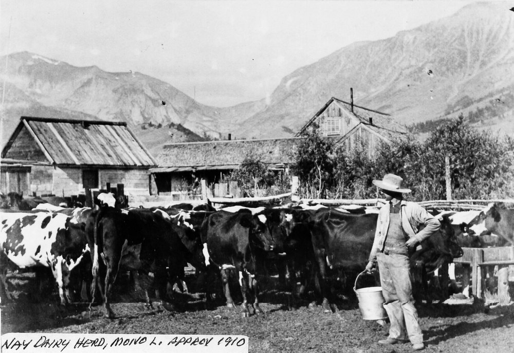 Nay family dairy herd about 1910