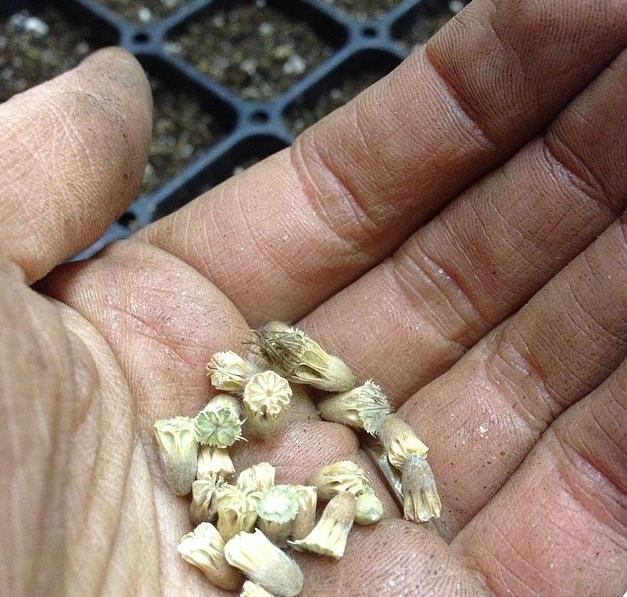 seedsScabiosa.jpg