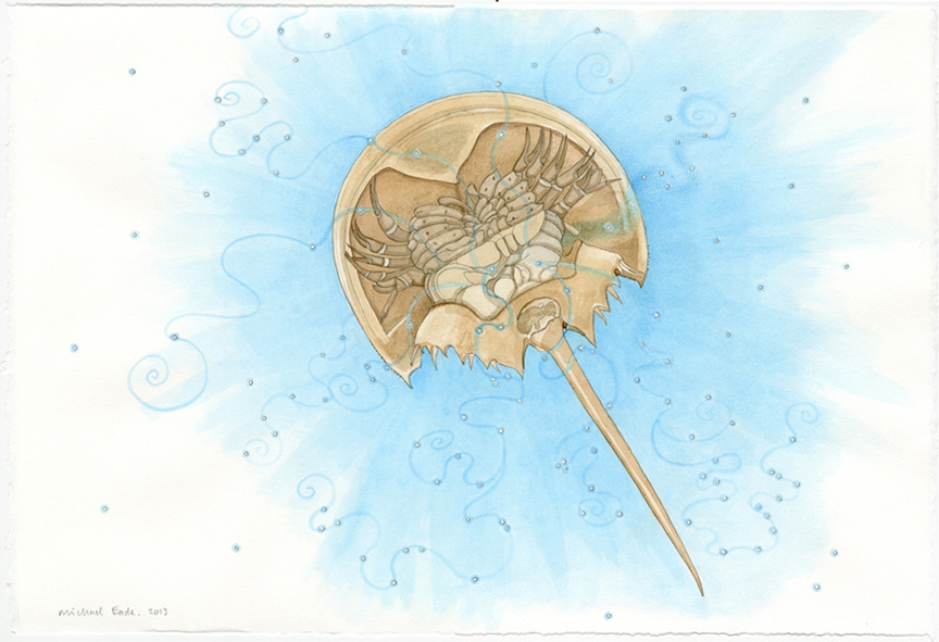 Horseshoe Crab Shell, Underneath View 马蹄蟹底面,2013 Watercolor and graphite on Rives BFK paper 纸上水彩和炭笔 15 x 22.25 in. (38.1 x 56.5 cm)