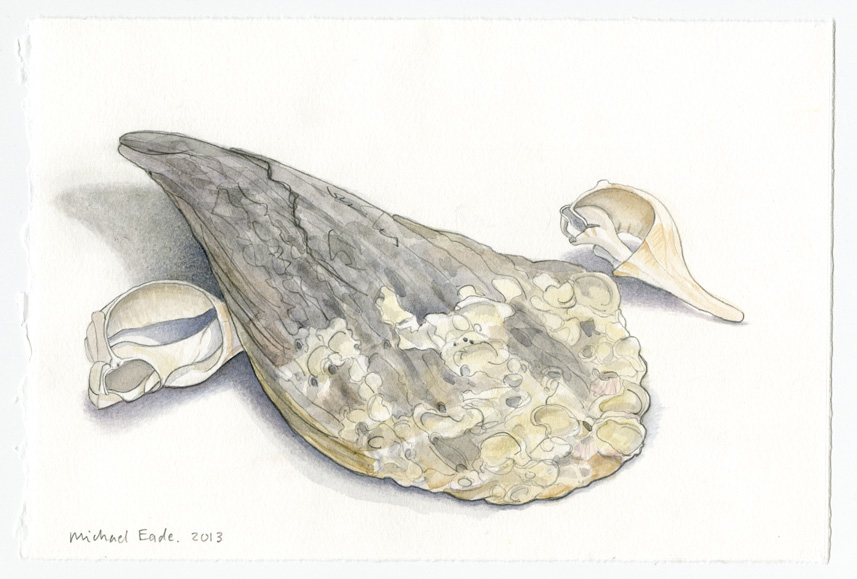 Gulf of Mexico Shells, Study No.1 墨西哥湾贝,素描 1,2013 Watercolor and graphite on Rives BFK paper 纸上水彩和炭笔 7.5 x 11.25 in. (19.1 x 28.6 cm)
