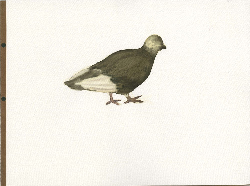 """Still Pigeon"", 2014, Watercolor on Paper 纸上水彩 12 x 16.1 in. (30.5 x 40.6 cm)"