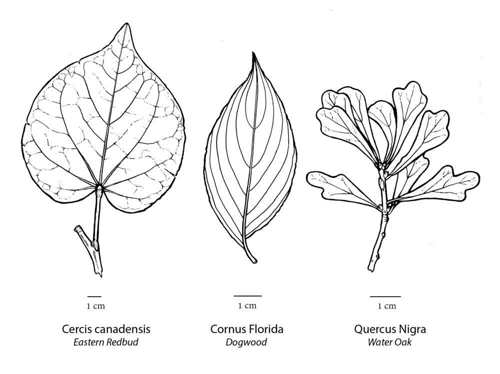 Leaf Study, 2016