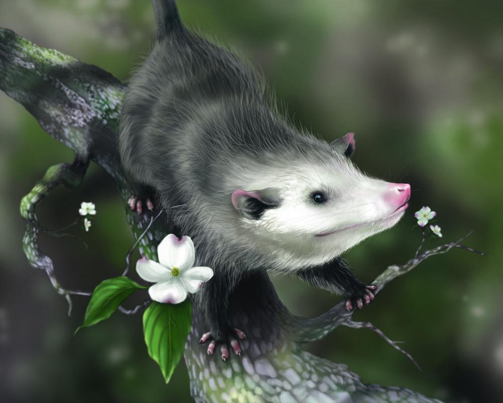 Virginia Opossum, 2016