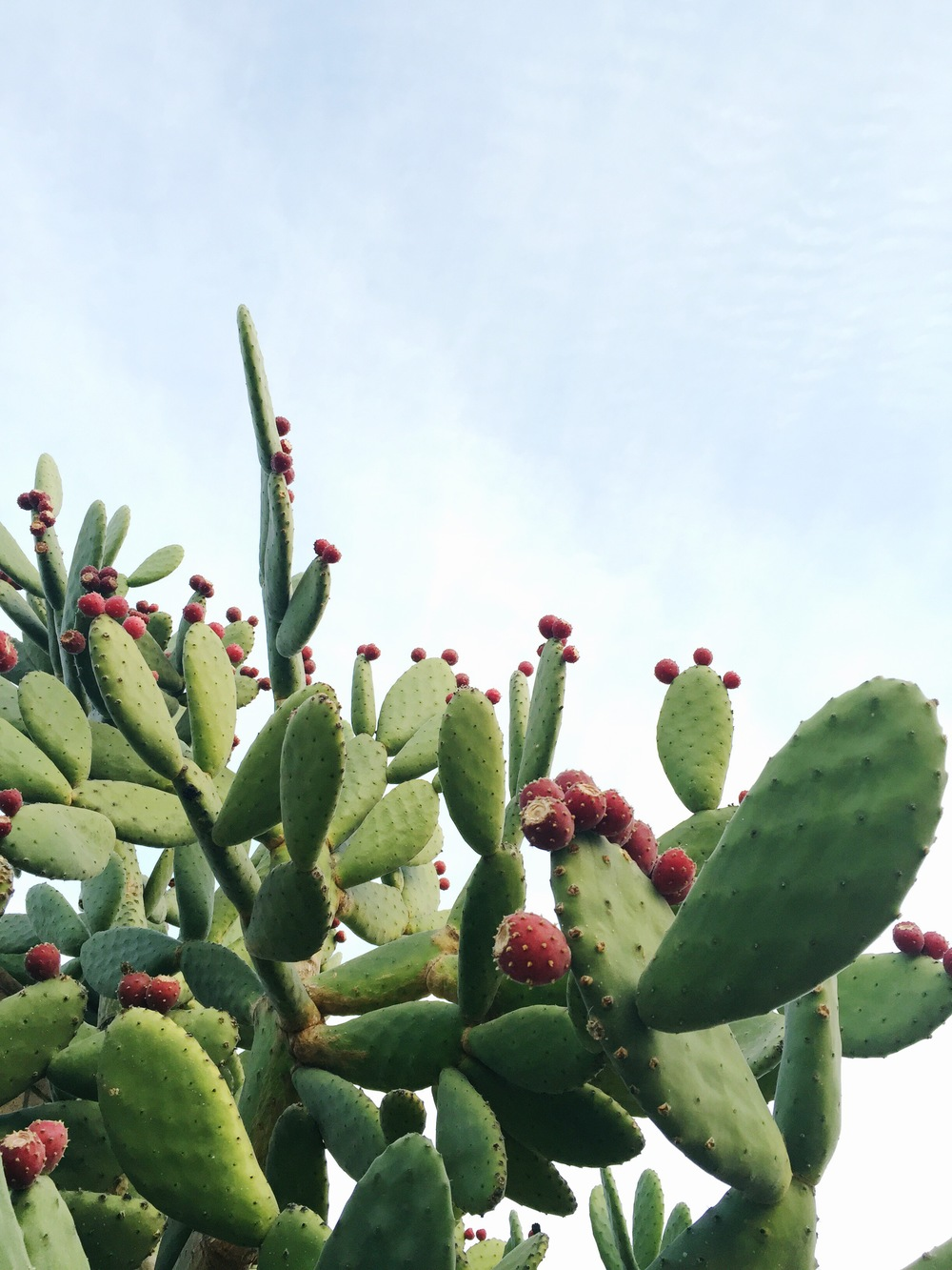 Folia-Collective-Plant-Scout-Spineless-Prickly-Pear-Cactus