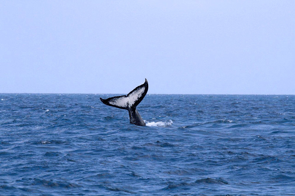 Humpback Whale, spottet in Marine Reserve