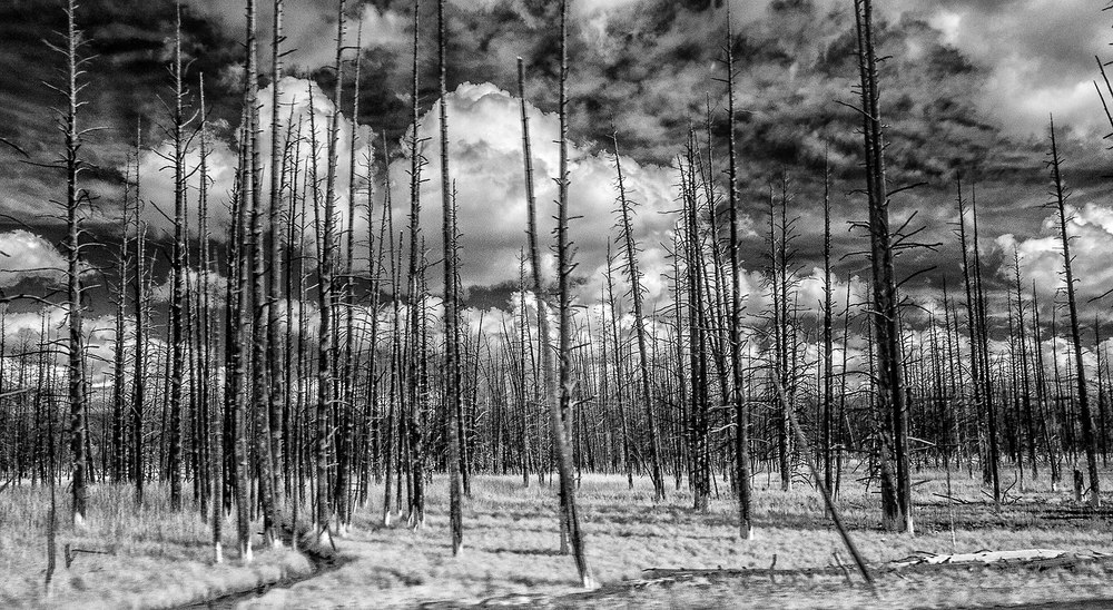 Burnt Forest, Yellowstone Park, 2014
