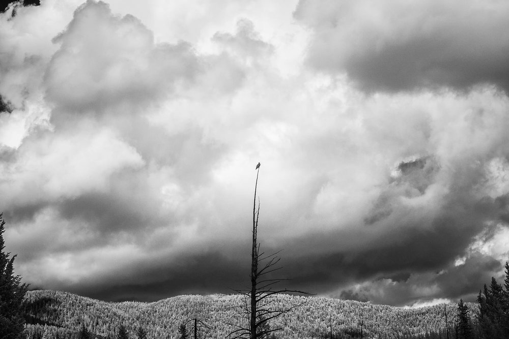 Unafraid, Yellowstone Park, 2014