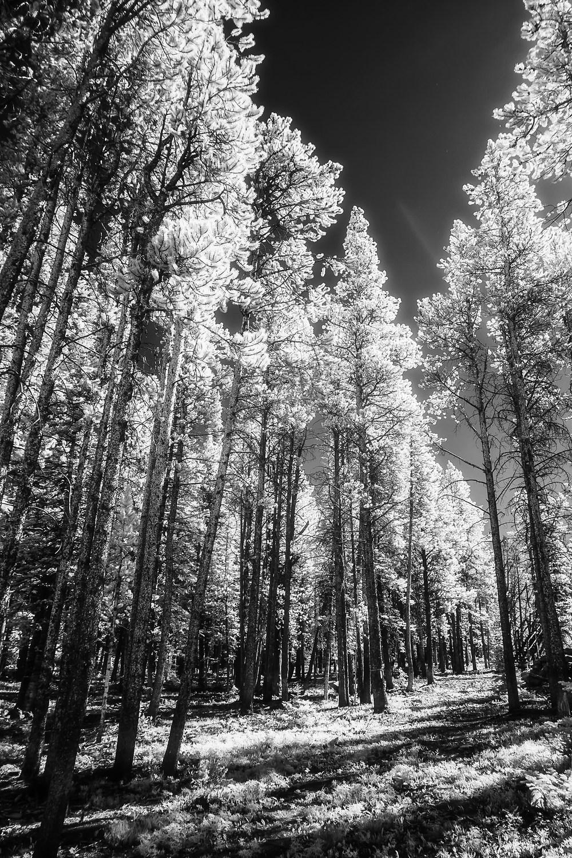 Big Sky Forest, 2014