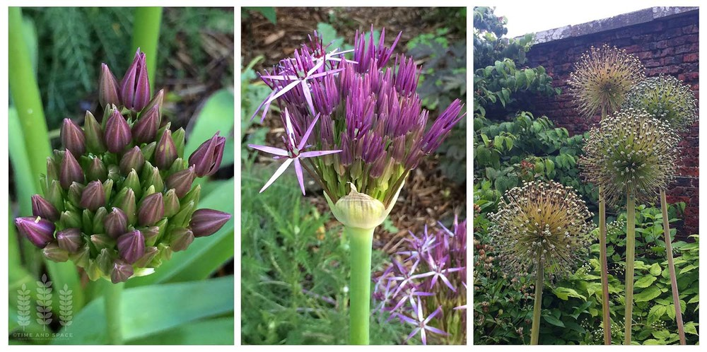 Every stage of the Allium's development has its own beauty - even when flowering is over they earn their place in the border